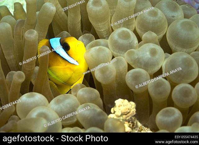 Red Sea Clownfish, Two-banded Anemonefish, Amphiprion bicintus, Coral Reef, Red Sea, Egypt, Africa