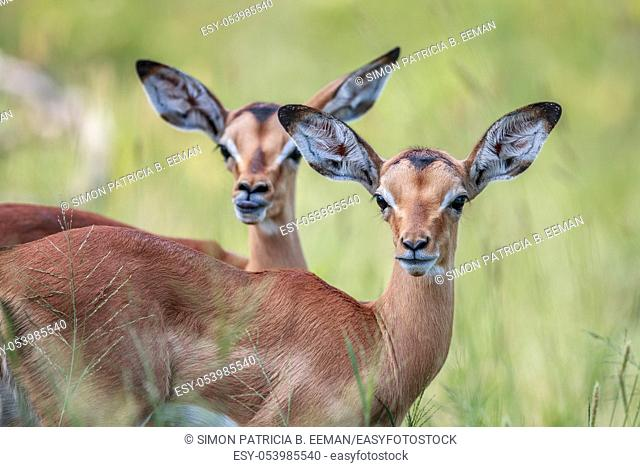 Two baby Impalas starring at the camera in the Kruger National Park, South Africa