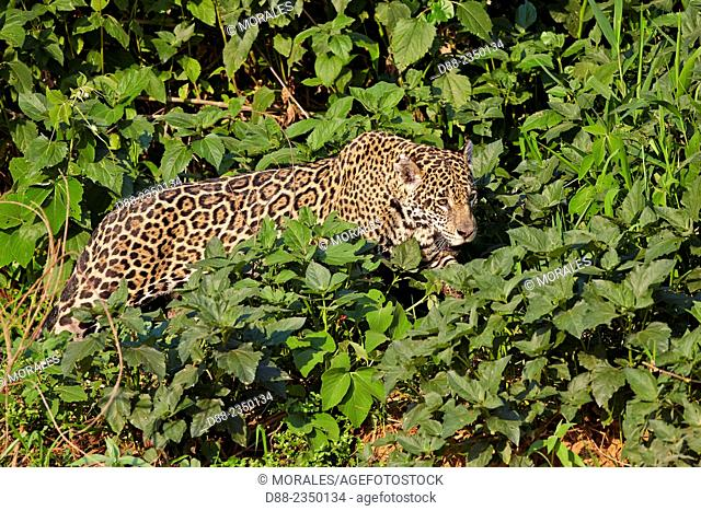 South America, Brazil, Mato Grosso, Pantanal area, jaguar Panthera onca, walking