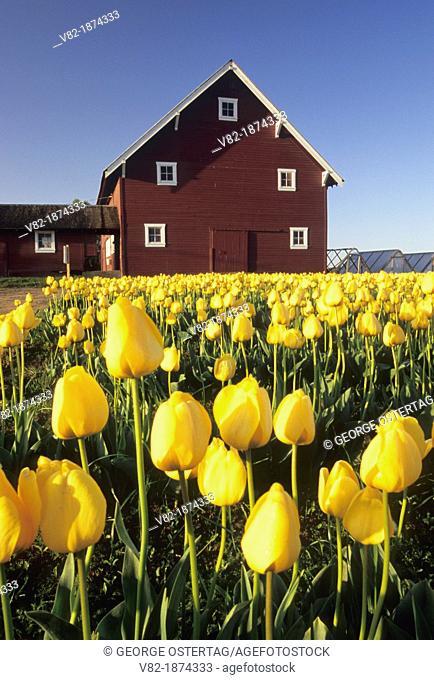 Yellow tulip field with barn, Roozengaarde Flowers & Bulbs, Skagit County, Washington