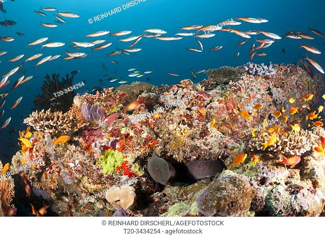 Colored Coral Reef, Ari Atoll, Indian Ocean, Maldives