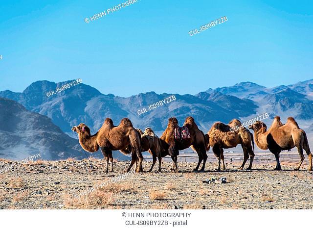 Mongolian camels, Ölgiy, Bayan-Olgiy, Mongolia