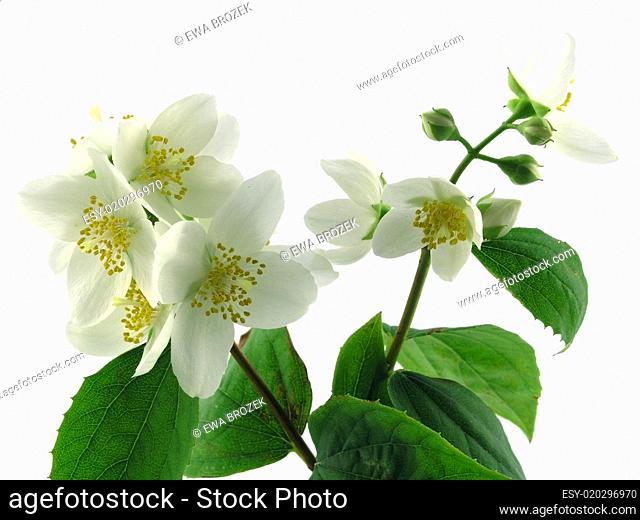 series flowers: branch of fresh jasmine