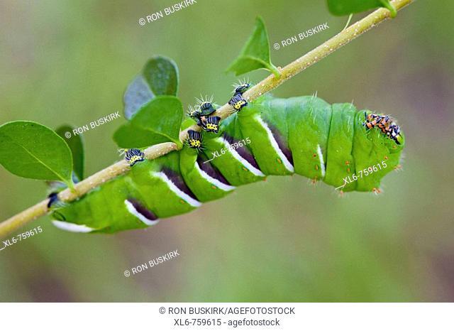 Rothschildia cincta, Wild Silk Moth, Saturniinea