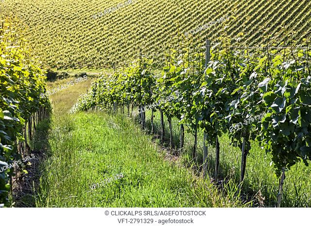 Europe, Slovenia, Jeruzalem, Ljutomer. The vineyards