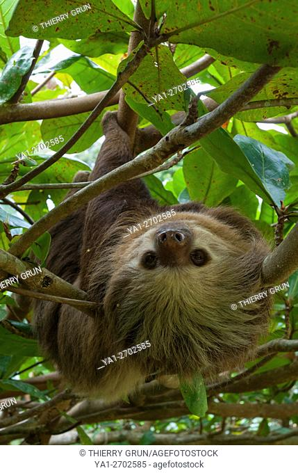 Costa Rica. Caribbean coast, Cahuita, Sloth Sanctuary, two-toed sloth (choloepus didactylus) in tree
