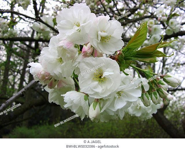 Tokyo Sherry, Yoshino cherry, Potomac cherry Prunus x yedoensis, Prunus yedoensis, Prunus speciosa x Prunus subhirtella, short shoot with flowers
