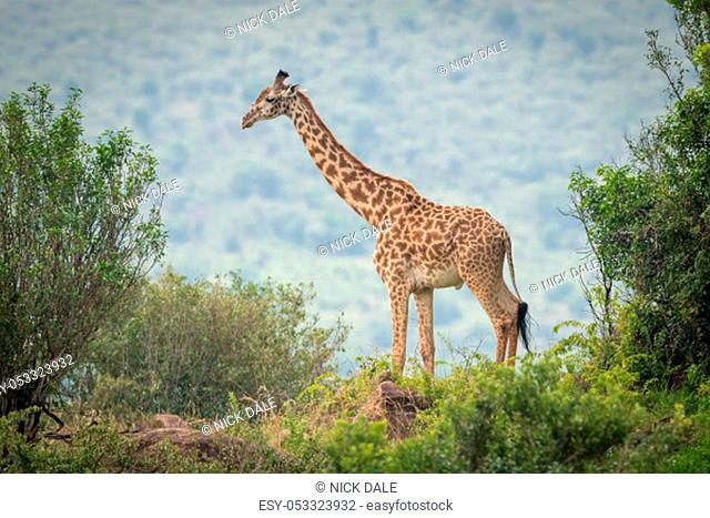 Masai giraffe stands among trees on horizon