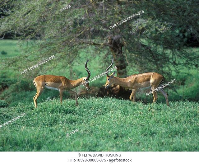 Impala Aepyceros melampus A pair facing each other on grass