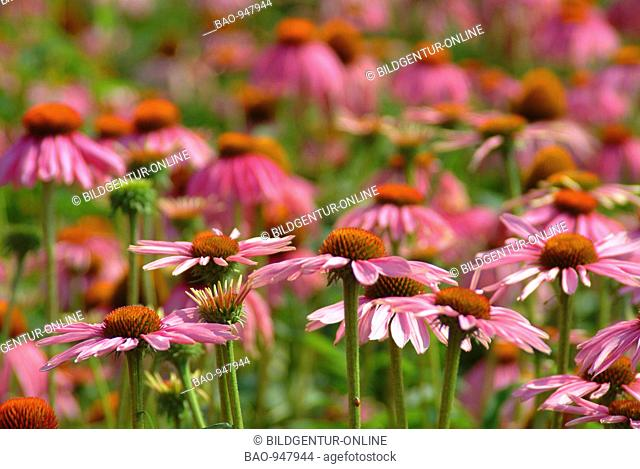 Medicinal plant Roter Sonnenhut, Rudbeckia, purple conflower, Echinacea purpurea