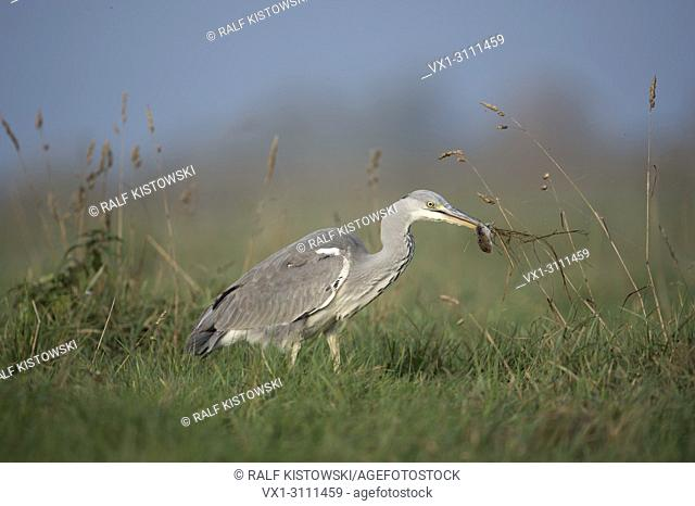 Grey Heron / Graureiher ( Ardea cinerea ) caught a rodent / mouse, successful hunter, with prey in its beak, on a meadow / pasture