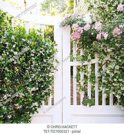South Carolina, Charleston, White gate with blooming jasmine