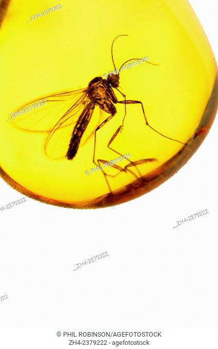 Prehistoric fly (c5mm long) preserved in Baltic Amber (Lithuania)