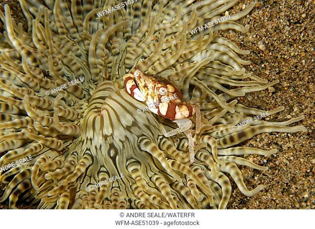 Swimmer Crab hiding in Anemone, Lissocarcinus orbicularis, Dumaguete, Negros, Visayan Sea, Philippines
