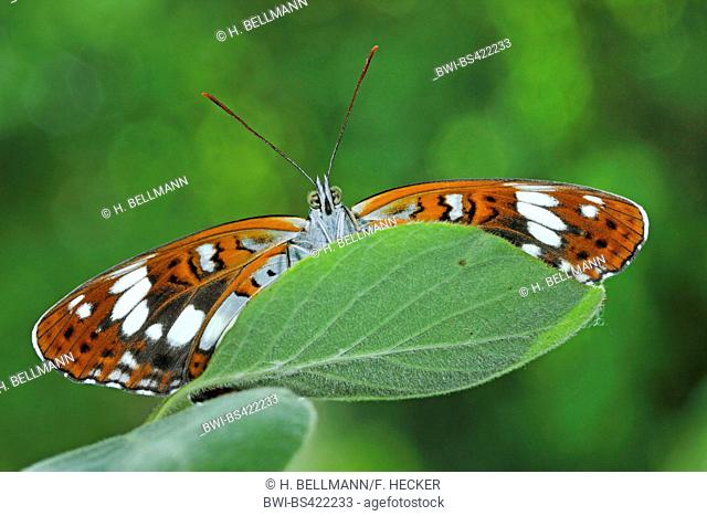 Eurasian White Admiral, White Admiral (Ladoga camilla, Limenitis camilla), sitting on a leaf, view from below, Germany