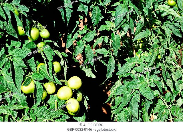 Planting tomatoes; Apiaí; Sao Paulo; SP; Brazil