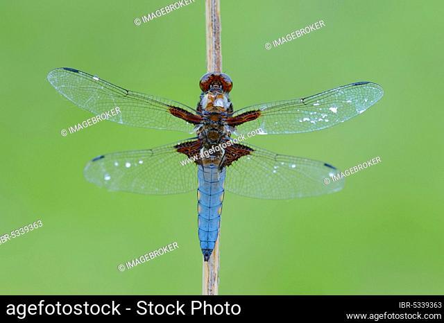 Broad-bodied Chaser (Libellula depressa), male, North Rhine-Westphalia, Germany, Broad-bodied Libellula, Broad-bodied Chaser Dragonfly, Europe