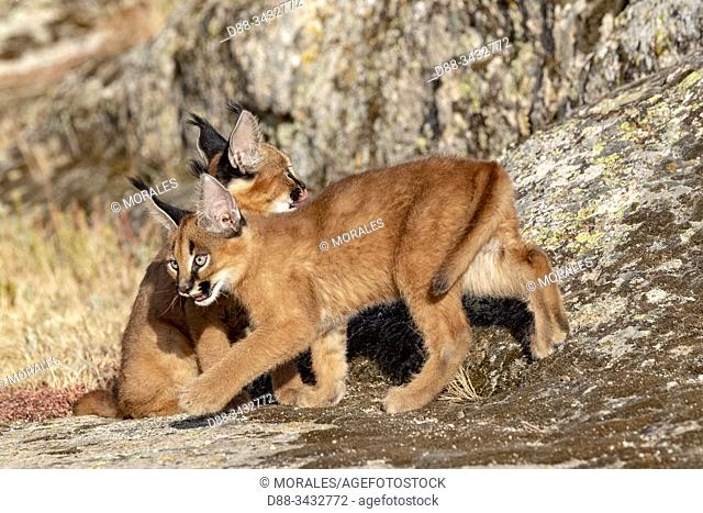 Caracal (Caracal caracal), Occurs in Africa and Asia, Young animals 9 weeks old, on the rocks, Captive