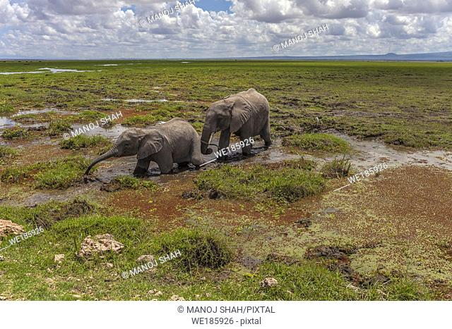 African Elephant feeding in tine Amboselli National Park