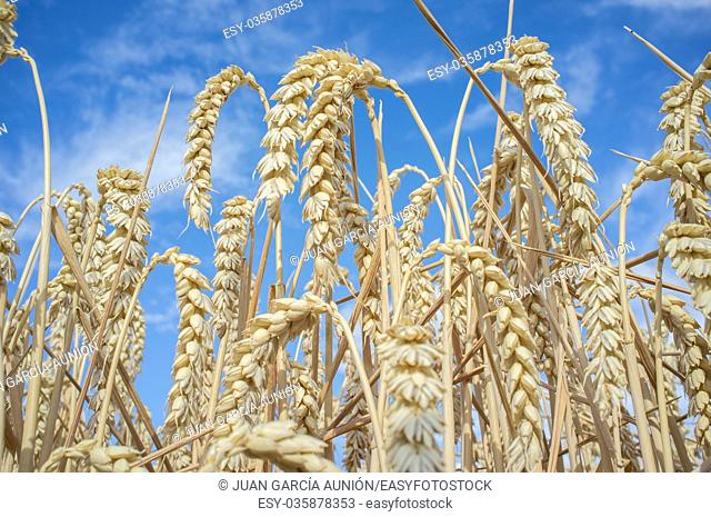 Wheat ears full of grains at cereal field over blue sky. Low angle view