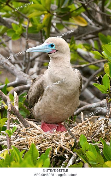 Red-footed Booby (Sula sula) in nest in mangrove, Galapagos Islands, Ecuador