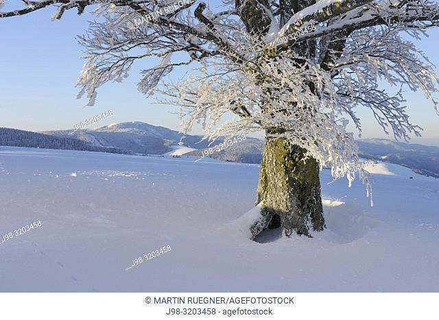 Snow Covered (Hoar-Frost) Beech Tree (Fagus sylvatica), tree trunk close up. Black Forest, Baden-Wuerttemberg, Germany