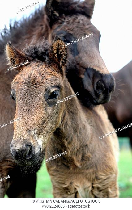 Two naughty male Icelandic horse foal standing in front of the camera, Bergneustadt, North Rhine-Westphalia, Germany, Europe