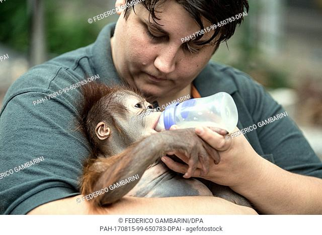 """Zoo keeper Eva Ravagni holding the 2.5-month old Borneo Orangutan baby """"""""Hujan"""""""" in her arms in Krefeld, Germany, 15 August 2017. The 3"""