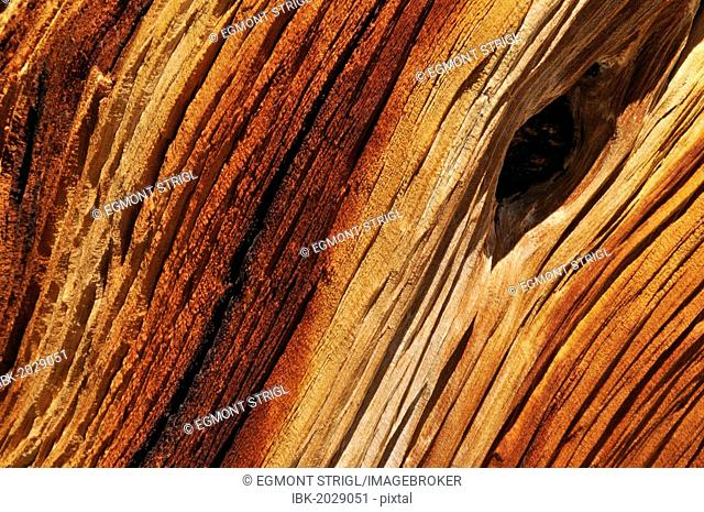 Weathered wood of an ancient Bristlecone pine (Pinus longaeva), Great Basin, Nevada, USA, North America