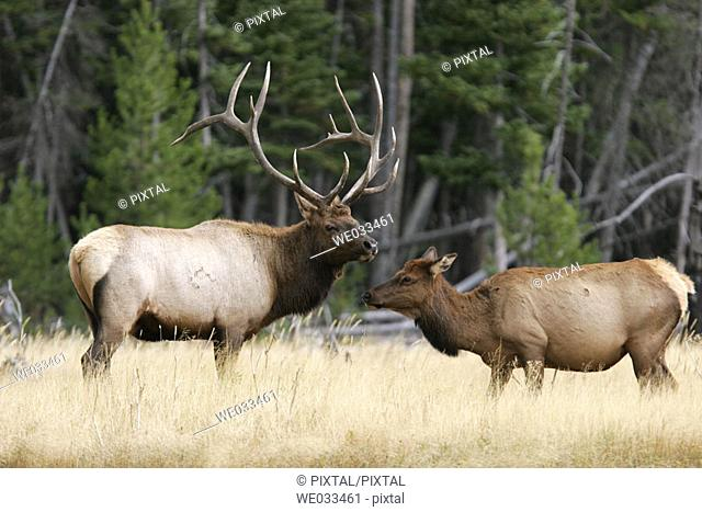 Elk (Cervus elaphus) in Yellowstone National Park, Wyoming, USA