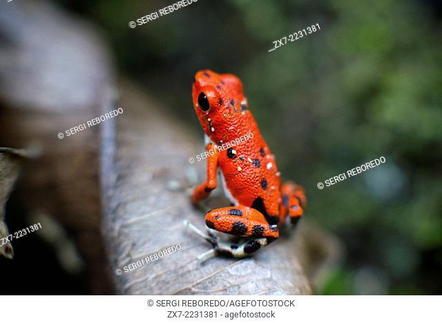 Strawberry Poison Frog (Dendrobates pumilio), adult, Bastimentos National Park, Bocas del Toro, Panama. The strawberry poison frog or strawberry poison-dart...