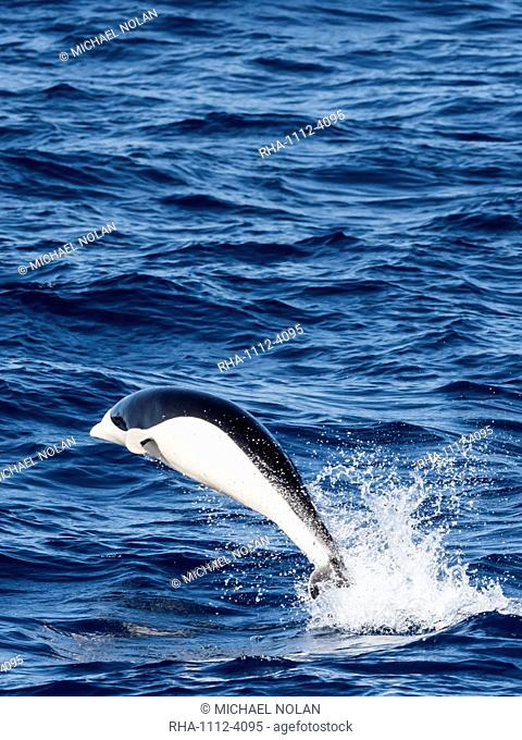 A adult Southern right whale dolphin, Lissodelphis peronii, travelling at high speed, Southern Atlantic Ocean