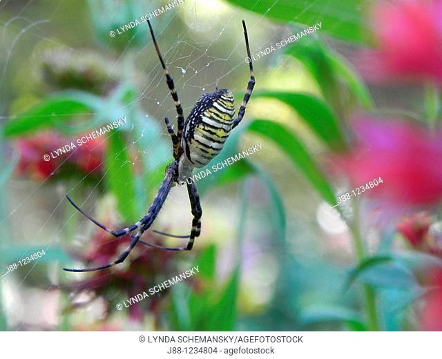 Black and yellow garden spider, Argiope aurantia in flower garden