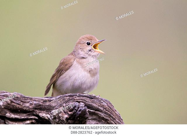 Europe, Spain, Catalonia, Common nightingale or nightingale (Luscinia megarhynchos)