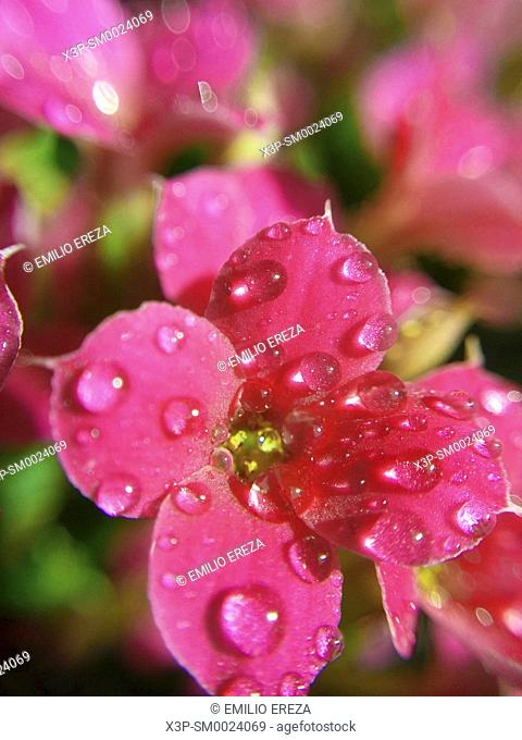 Kalanchoe with droplets