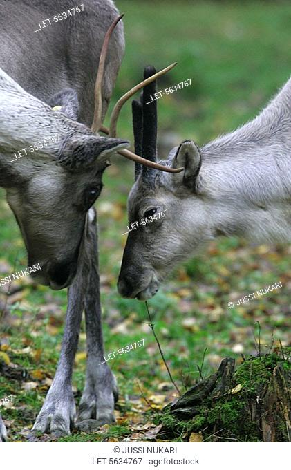 Wild forest reindeer Rangifer tarandus fennicus at the Ähtäri Zoo in Finland  The wild forest reindeer belongs to the same species with semi-domesticated...