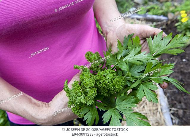 A partial view of a woman holding freshly harvested parsley from her garden