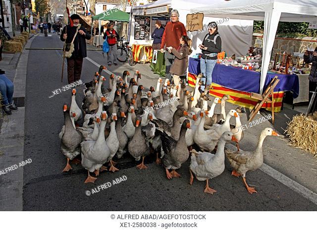 Flock of geese, Vallgorguina, Catalonia, Spain