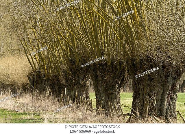 Poland. Mazowsze region. Willow trees. Willows are very popular trees in the Mazowsze region