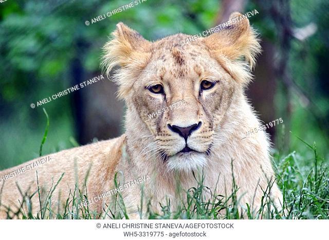 Katanga Lioness Lying in Grass
