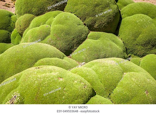 Rock covered with green moss in Bolivian sud lipez, close-up view