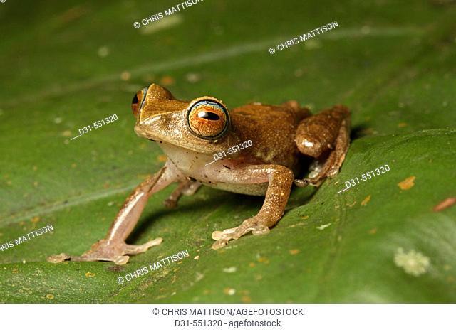 Masked Tree Frog, Rhacophorus angulirostris. Mount Kinabalu National Park, Sabah, Borneo