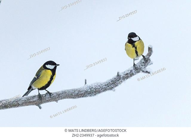 Great tits, parus major, sitting on a snowy branch, Gällivare, Sweden, Swedish lapland