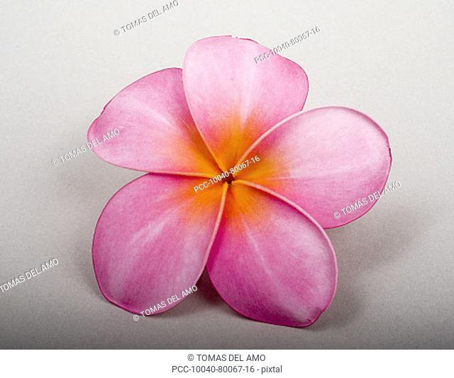 Studio shot of pink plumeria on white background