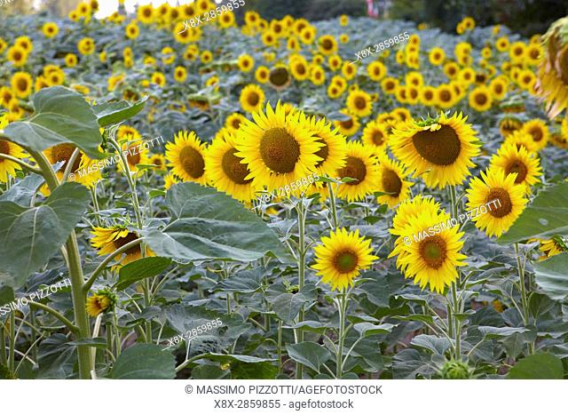 A field of Sunflowers in Emilia Romagna, Italy