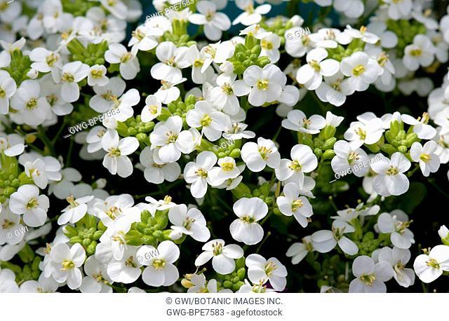 ARABIS 'LITTLE TREASURE WHITE'