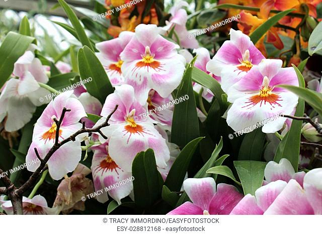 Close up of a cluster of pink, yellow and white Miltoniopsis orchids in full bloom