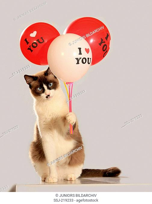 Domestic cat. Adult with a point coloration sitting while holding three balloons labelled I love you. Studio picture against a gray background