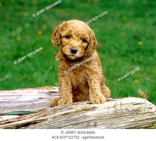 Labradoodle Puppy standing behind log with front legs on log