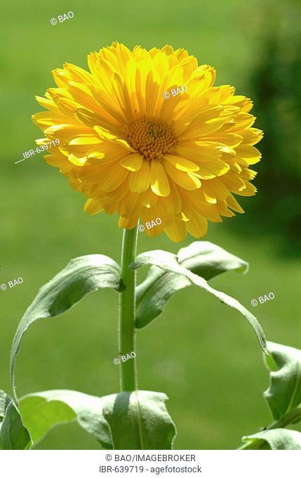 Pot - or English Marigold (Calendula officinalis) blossom, medicinal plant